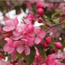 Яблоня декоративная Mokum