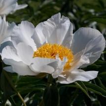 Пион молочноцветковый White Wings