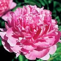 Пион молочноцветковый Pink Parfait