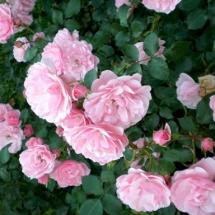 Роза шраб Rosario