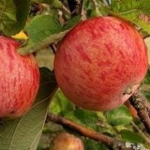 Яблоня Осеннее полосатое Штрифель (Осень)