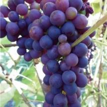 Виноград Северный плечистик