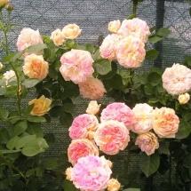 Роза шраб Alchymist