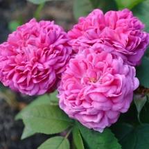 Роза Rose de Rescht