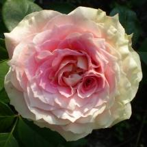 Роза плетистая Cesar