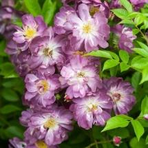 Роза плетистая Veilchenblau