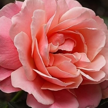 Роза флорибунда Botticelli