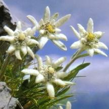 Эдельвейс альпийский