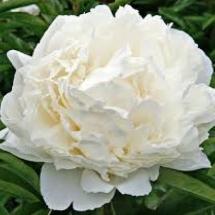 Пион молочноцветковый Double White