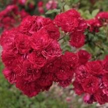 Роза почвопокровная Fairy Dance