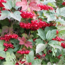 Калина обыкновенная Красная гроздь