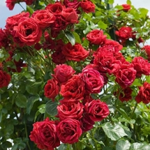 Роза плетистая Sympathy