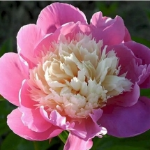 Пион молочноцветковый Bowl of Beaut
