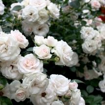 Роза флорибунда Aspirin Rose