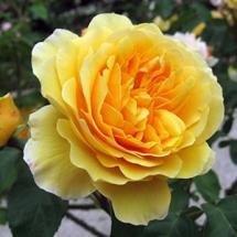 Роза английская (Austin) Graham Thomas