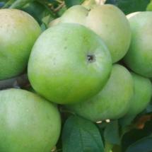 Яблоня Осеннее Зеленое