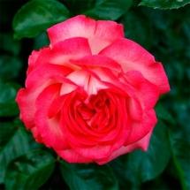 Роза плетистая Antike 89
