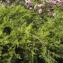 Можжевельник средний Pfitzeriana Aurea