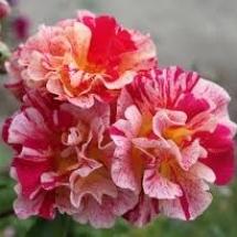 Роза шраб Edgar Degas
